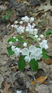 The mountain laurel probably peaked in late May.