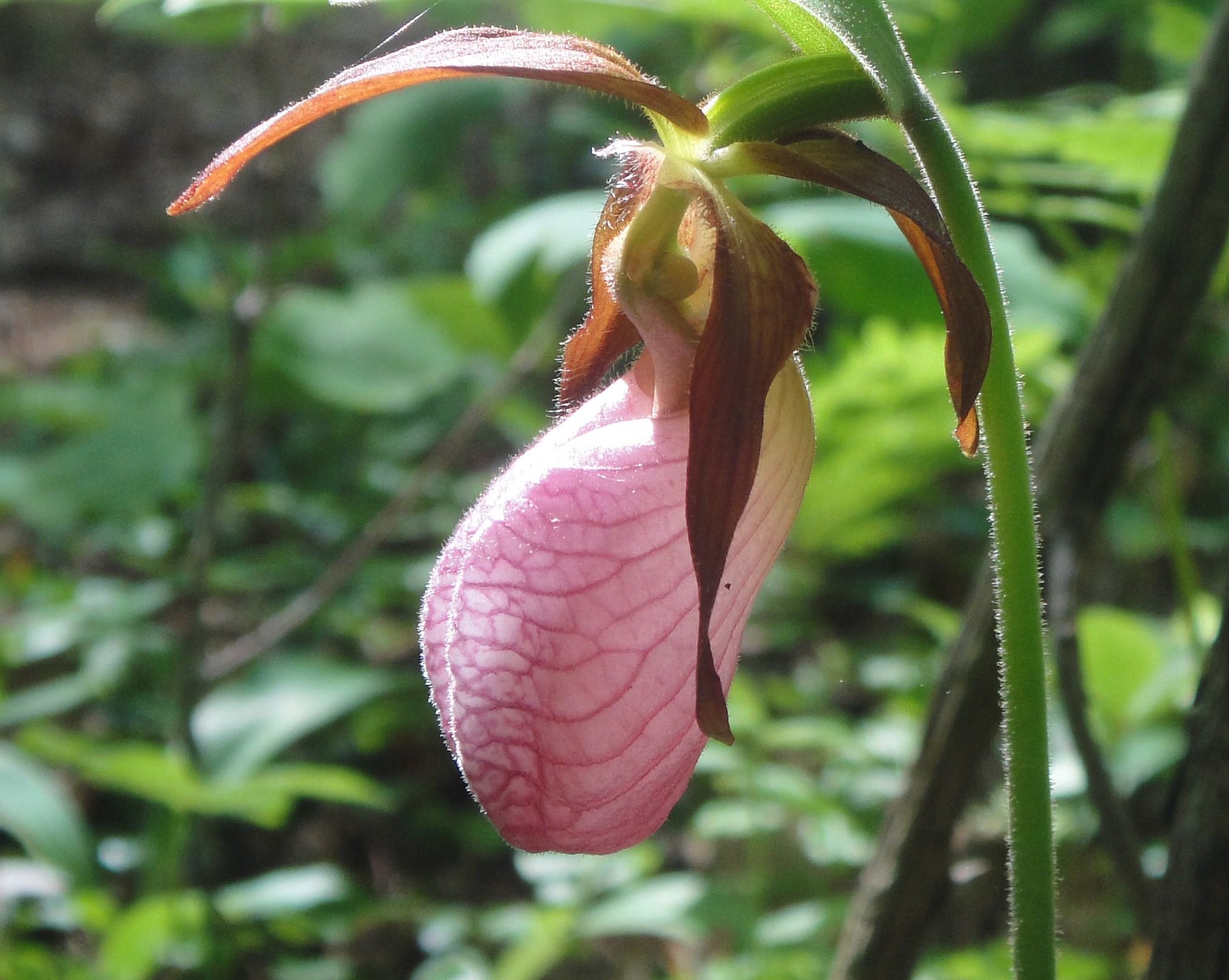 Showy Pink Lady Slipper Orchids