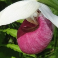 Showy Pink Lady-Slipper Orchids