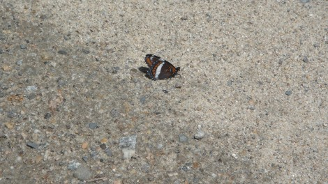 A White Admiral butterfly - just one of dozens on the road today