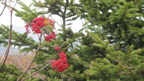 Mountain Ash berries at Lucia's lookout
