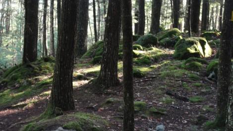 The hemlock woods - dark and mossy