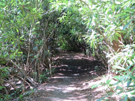Trails are like tunnels through the thickets of rhododendron