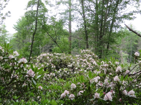 Rhododendron maximum at the Harvey Butler Rhododendron Sanctuary