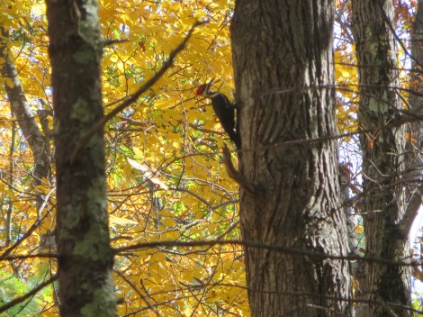 A pileated woodpecker shows off