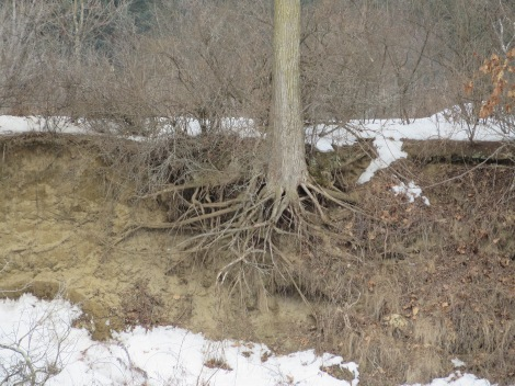 A textbook view of a root system as the bank erodes, undercutting this tree.