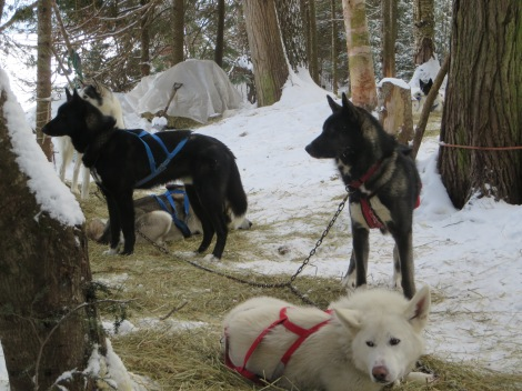 Lunch break for the huskies